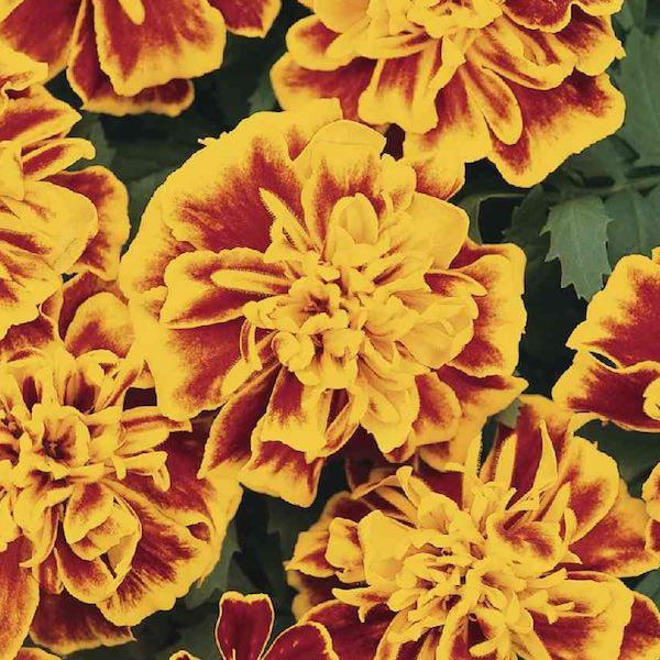 Bonanza Bee marigold seeds