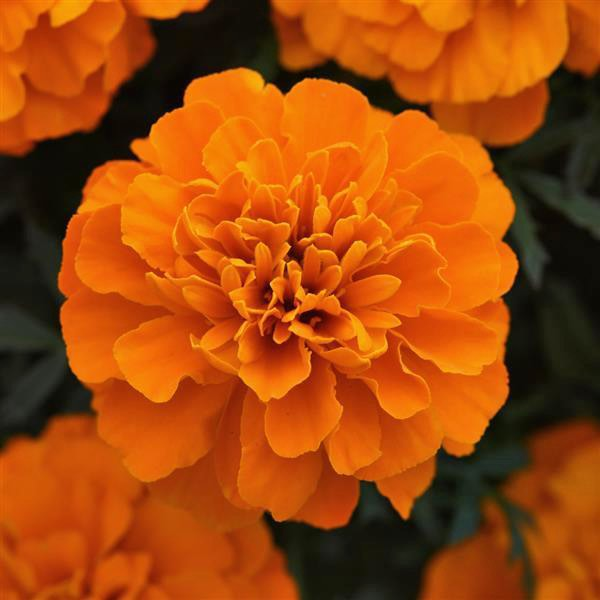 Bonanza Deep Orange marigold seeds