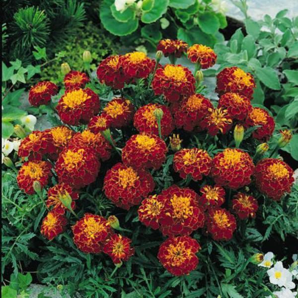 Bonanza Harmony marigold seeds
