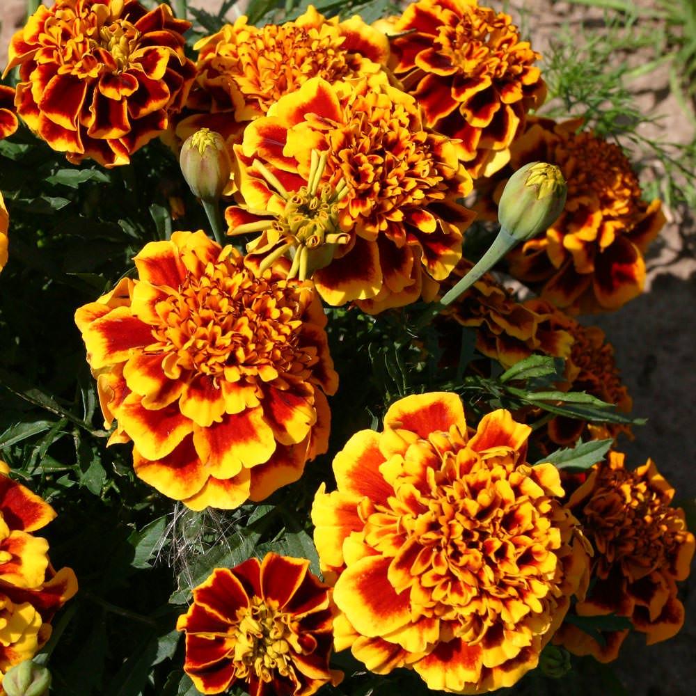 Colossus marigolds