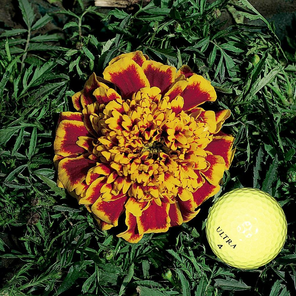 Marigold Seeds 17 African French Marigolds Annual Flower Seeds