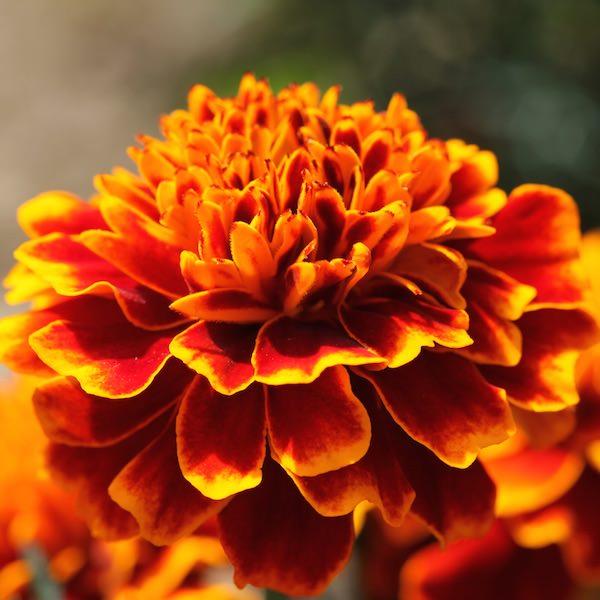 Marigold Cresta Flame - Garden Seeds - Annual flower seeds