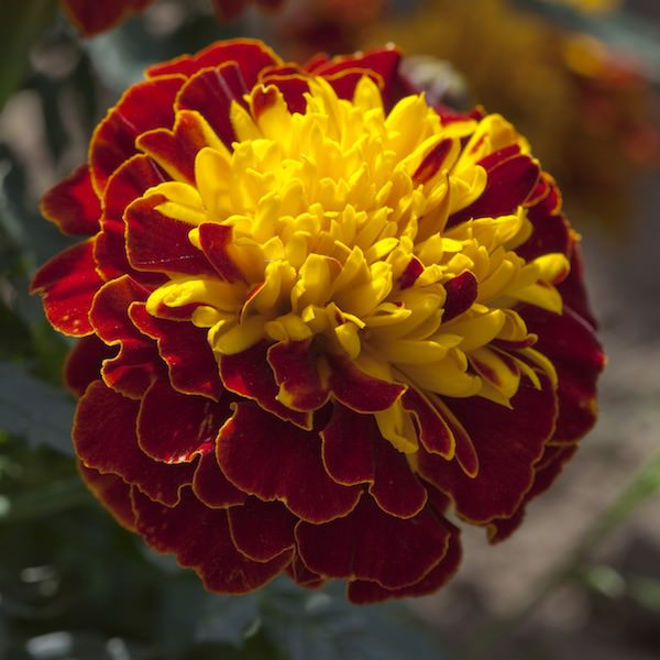 Marigold Cresta Spry - Garden Seeds - Annual flower seeds