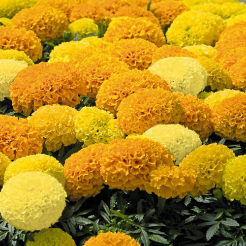 Marigold Discovery Mix