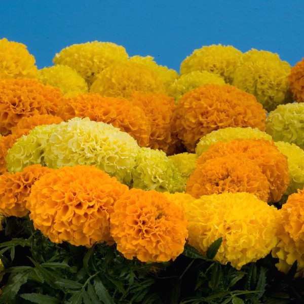 Marigold Discovery Mix - Garden Seeds - Annual flower seeds