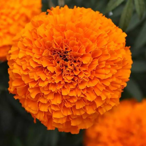 Garland Orange marigold seeds