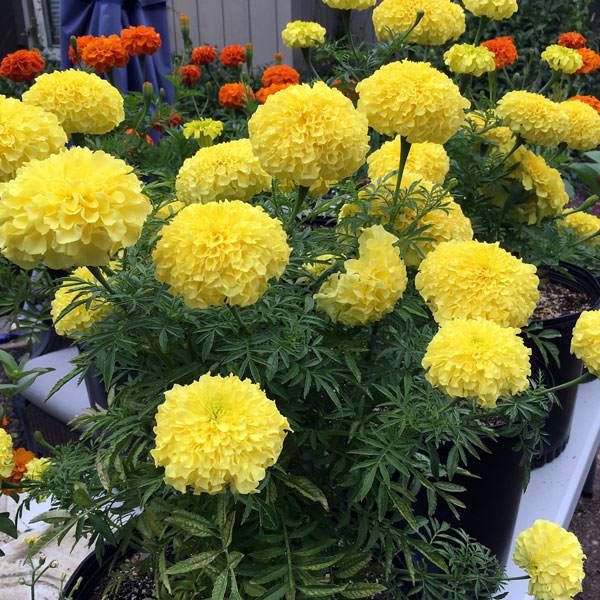 Inca 2 Primrose marigolds growing in containers