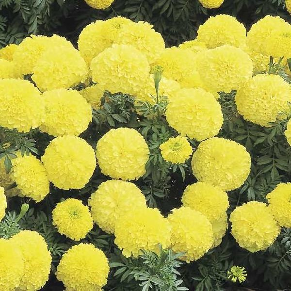 Marigold seeds 17 african french marigolds annual flower seeds inca 2 primrose marigold seeds mightylinksfo
