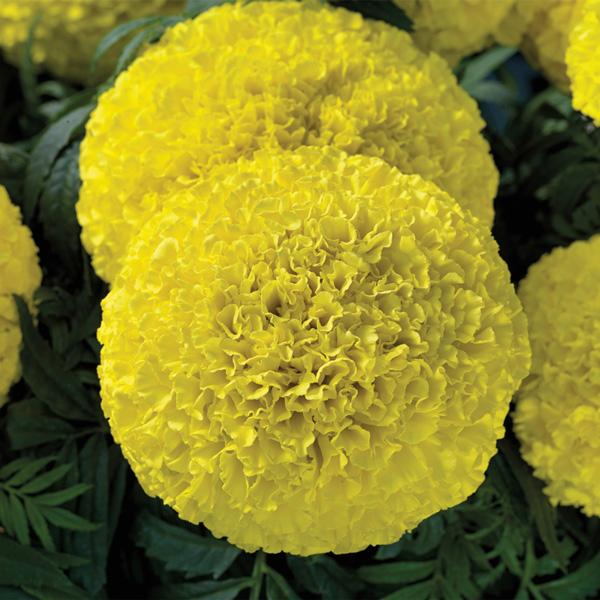 Moonstruck Lemon Yellow marigold seeds