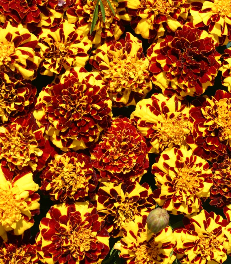 Mr Majestic Double marigold seeds