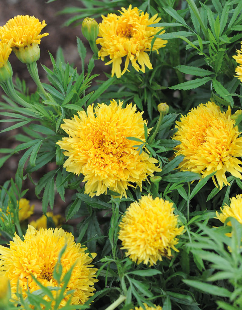 Marigold seeds 17 african french marigolds annual flower seeds simba yellow marigold seeds izmirmasajfo