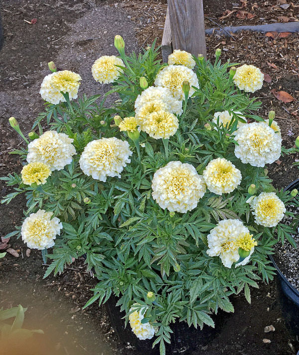 Marigold seeds 17 african french marigolds annual flower seeds marigold vanilla improved hybrid vanilla improved hybrid marigold mightylinksfo