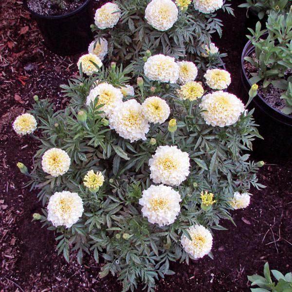 Vanilla Improved Hybrid white marigold