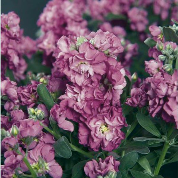 Vintage Lavender stock seeds - Garden Seeds - Annual Flower Seeds.
