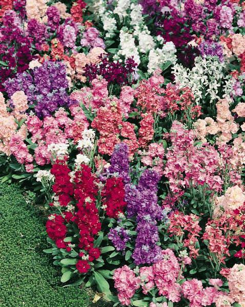 Vintage Mix stock seeds - Garden Seeds - Annual Flower Seeds