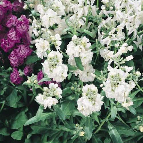 Stock seeds for sale matthiola incana annual flower seeds stock vintage white mightylinksfo