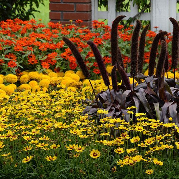 Copper Prince ornamental millet seeds