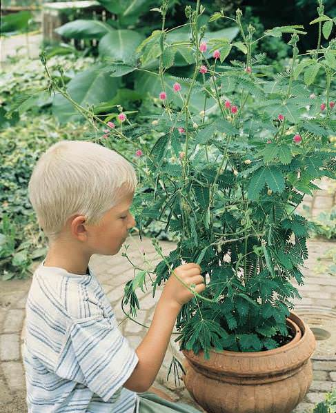 Sensitive Plant seeds