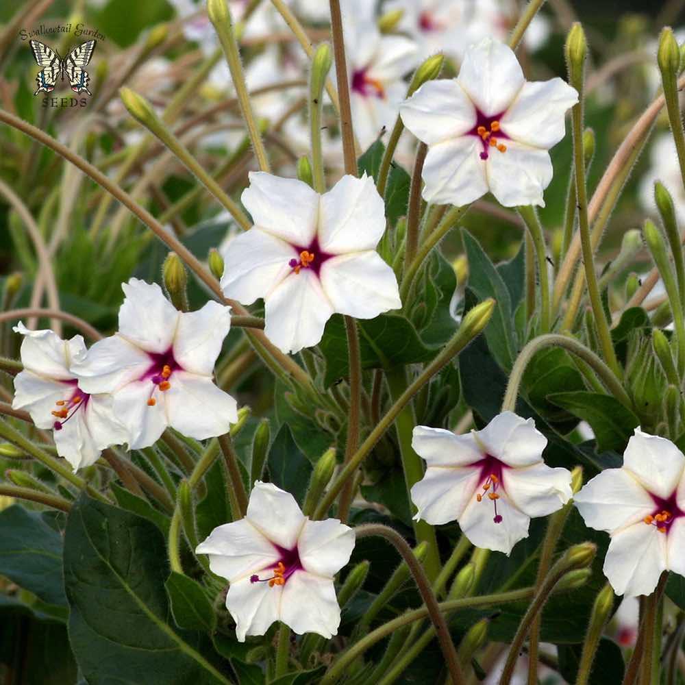 Four Oclock Seeds Mirabilis Jalapa M Longiflora Perennial