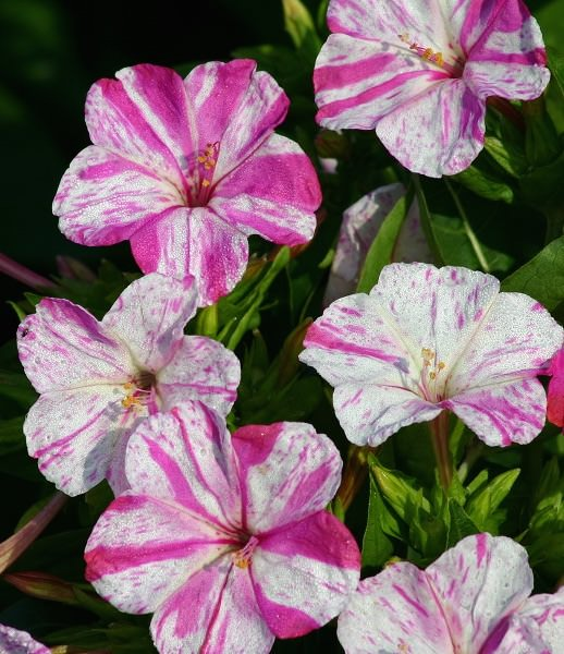 Four O'clock Marbles White-Red - Mirabilis jalapa