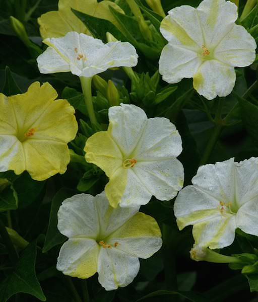 Four O'clock Marbles White-Yellow - Mirabilis jalapa
