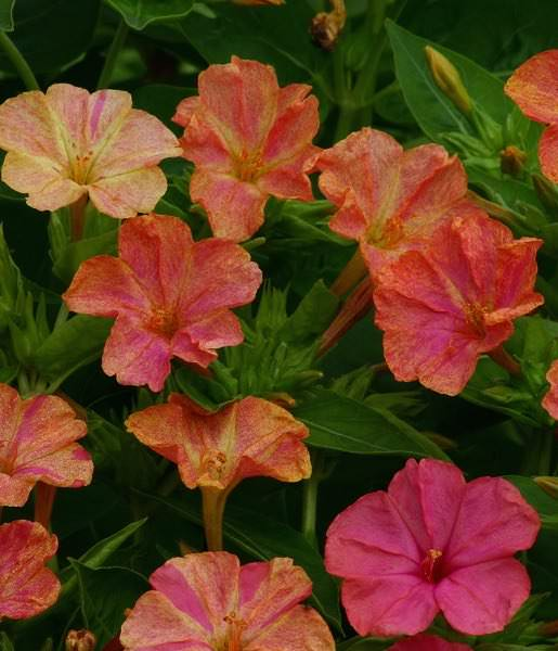 Four O'clock Marbles Yellow-Red - Mirabilis jalapa