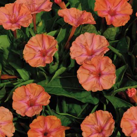 Four O'clock Salmon Sunset - Mirabilis jalapa