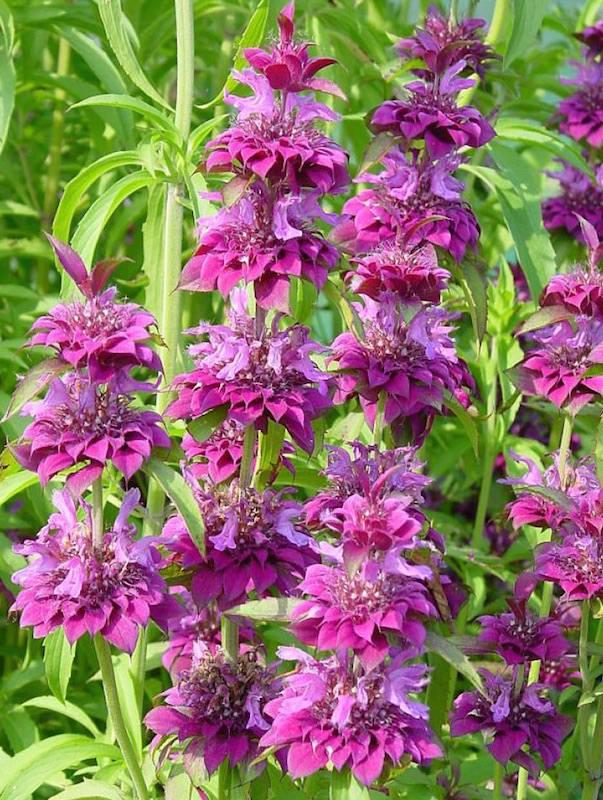 Bee balm Bergamo perennial flower seeds