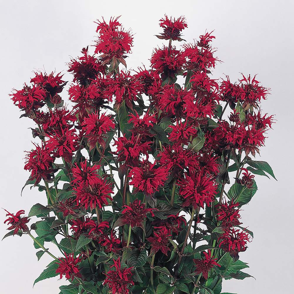 Panorama Red Bee Balm Red - Monarda didyma