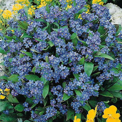 Forget-me-not Victoria Blue - Myosotis sylvatica