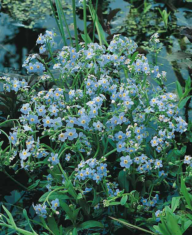 Water forget-me-not - true perennial flower - Myosotis scorpiodes