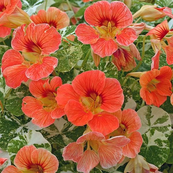 Alaska Apricot nasturtium flowers