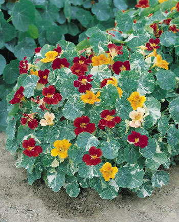Tip Top Alaska Mix nasturtium - annual flowers