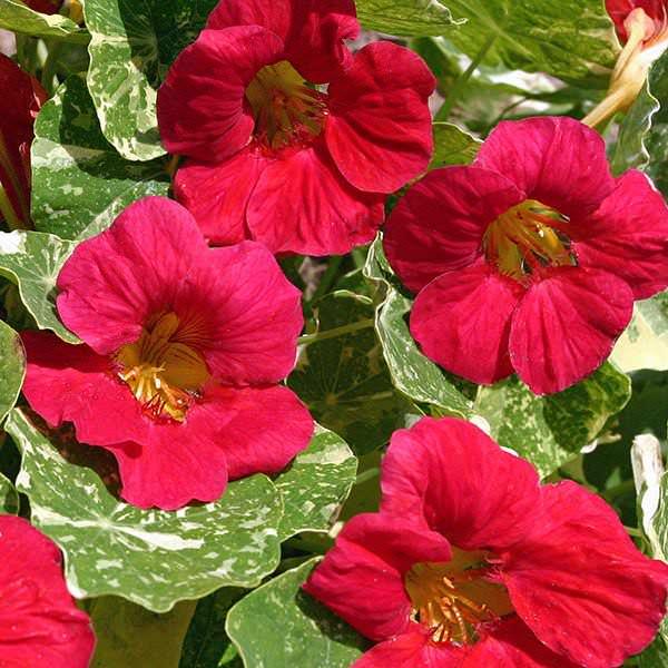 Alaska Raspberry - nasturtium seeds