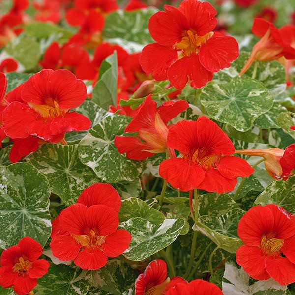 Alaska Scarlet nasturtium -annual flowers
