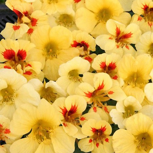 Nasturtium Banana Split - Annual Flower Seeds