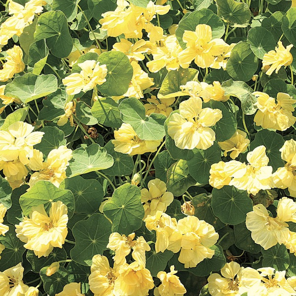 Nasturtium Double Delight Cream - Annual Flower Seeds
