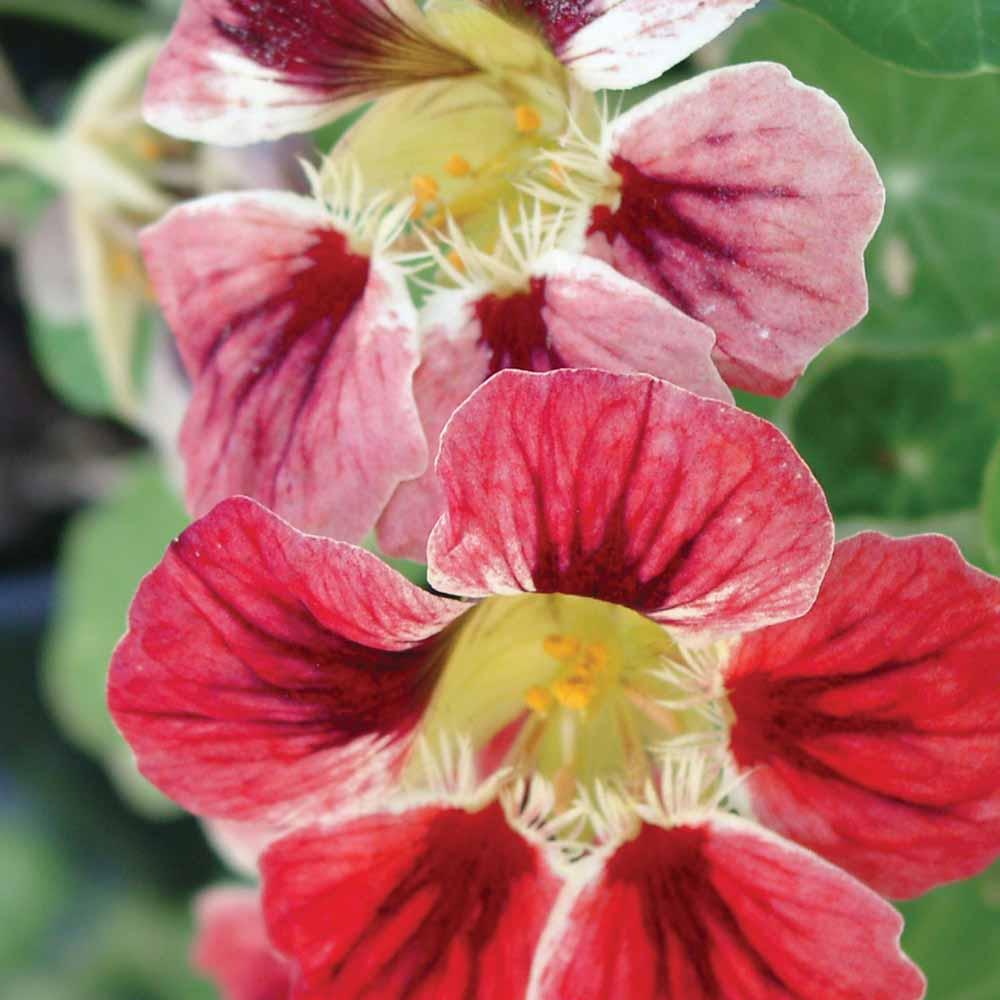 Nasturtium Orchid Cream