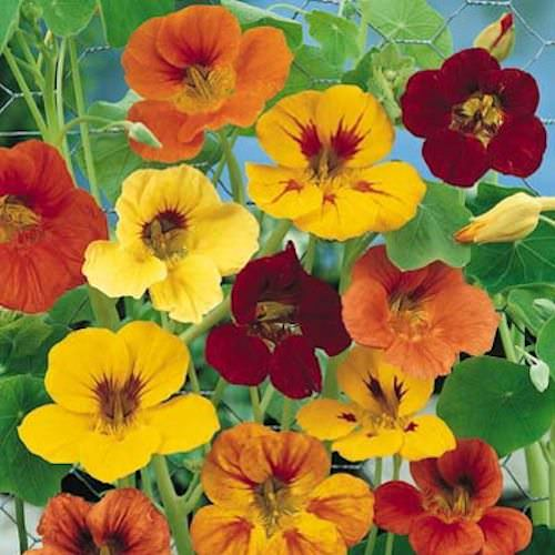 Nasturtium Tall Single Mix
