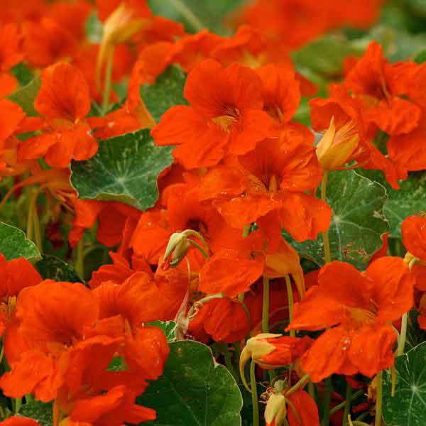Nasturtium Troika Orange