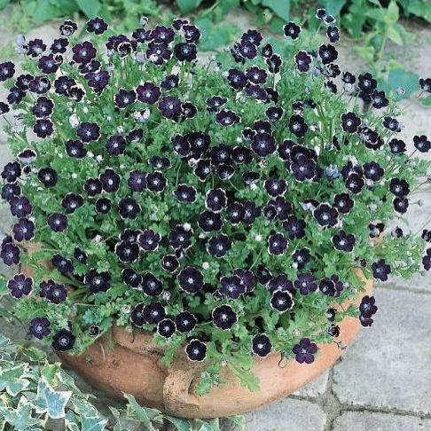 Total Eclipse Nemophila seeds
