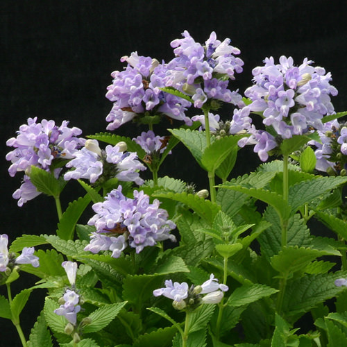 Blue Panther catmint - Nepeta subsessilis