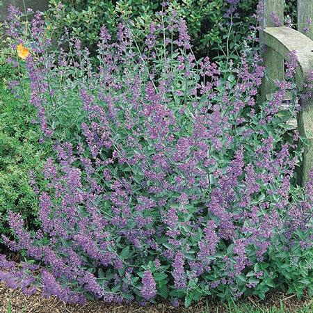 nepeta seeds catmint perennial flower seeds