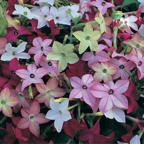 Nicotiana Avalon Mix - Annual Flower Seeds