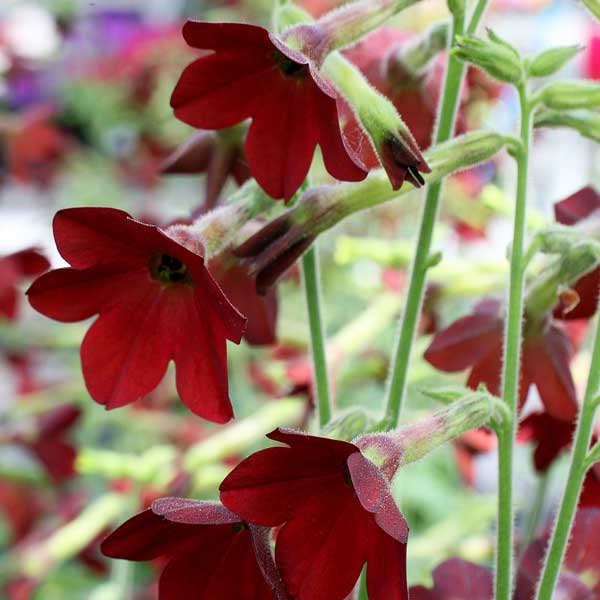 Nicotiana Baby Bella Antique Red - Annual Flower Seeds