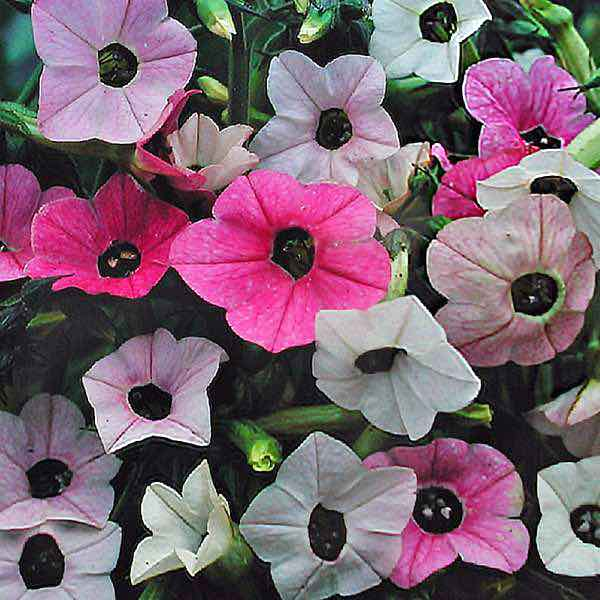 Nicotiana Marshmallow white blooms changing to pink and rose shades - Annual Flower Seeds