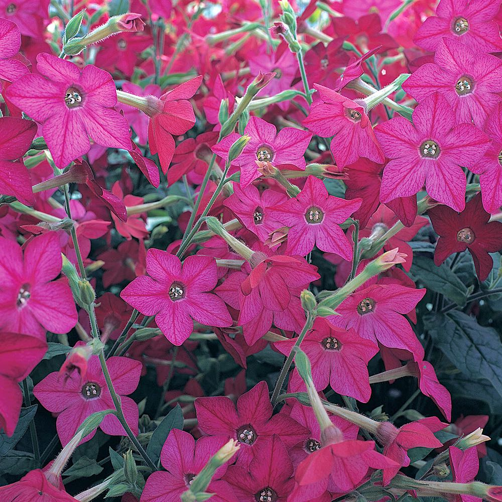 Perfume Bright Rose nicotiana seeds