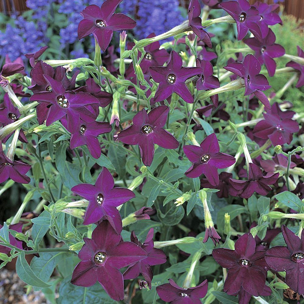 Nicotiana Perfume Deep Purple