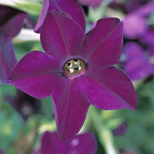 Perfume Deep Purple nicotiana seeds