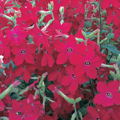 Perfume Red nicotiana seeds